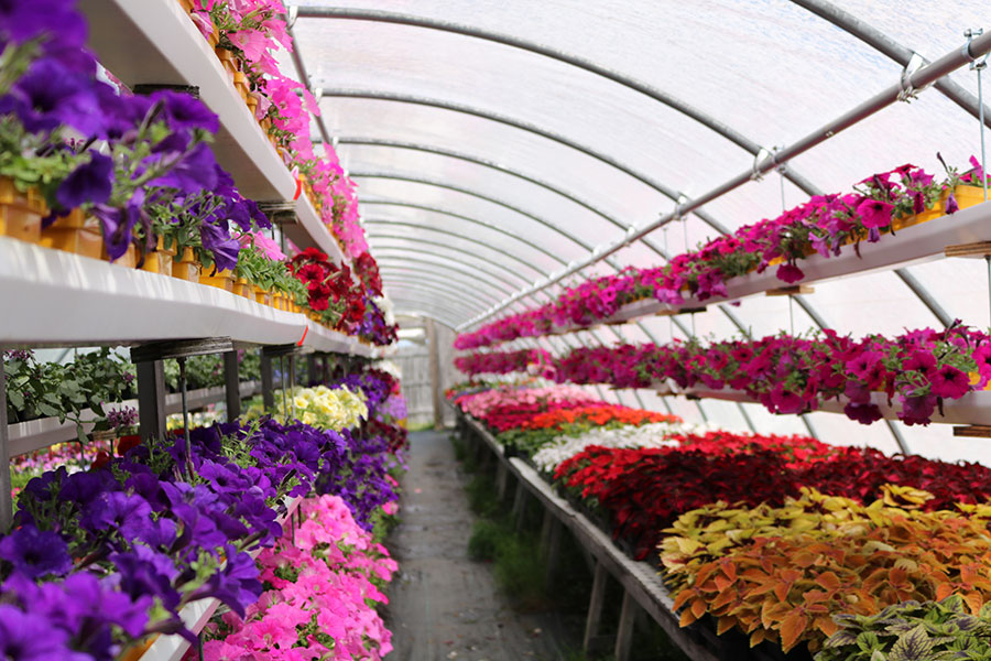 greenhouse row of flowers